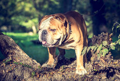 Huge English bulldog Royalty Free Stock Image
