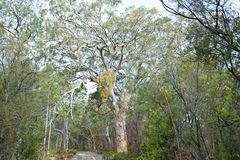 Huge eucalyptus trees in jungle forest Fraser Island, Australia Royalty Free Stock Images
