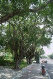 Huge exotic deciduous tree with airy roots in street Royalty Free Stock Photography