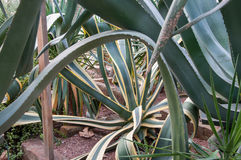 Huge exotic plant yucca. In high quality Royalty Free Stock Images