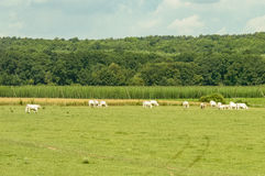Huge expanse of green fields with cattle grazing on it Stock Image
