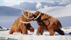 Woolly mammoth bulls fighting, prehistoric ice age mammals in snow frozen landscape. Huge extinct ice age animals, early elephant species in natural environment royalty free stock images