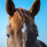 Huge eyes of a beautiful bay horse stock image