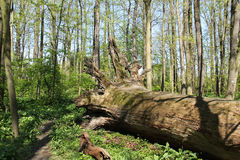 Huge fallen tree. Rotting trunk of a huge old fallen tree in the forest in spring Royalty Free Stock Photo