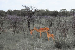 Huge family  herd springbok grazing in the field    in the Etosh Royalty Free Stock Photos
