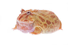 Huge fat red pac man frog Royalty Free Stock Photo