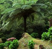 Huge fern at the Azores Stock Photography