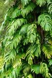 Huge fern trees at Tao Dan park in Saigon, Vietnam Royalty Free Stock Photography