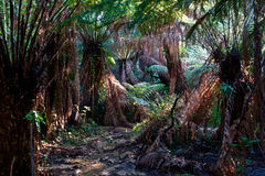 Huge ferntrees in tropical rainforest Stock Photos