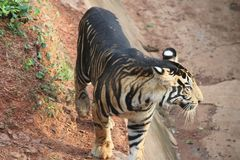 Huge ferocious tiger showing its attitude stock images