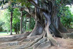Huge ficus tree in Antonio Borges park, Ponta Delgada, Azores islands