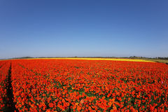 Huge field of blossoming buttercups Stock Photography