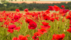 Huge field of blossoming poppies. Rustic Summer Landscape, Background. Huge field of blossoming poppies. Poppy field.Field of blossoming poppies. Blossoming Royalty Free Stock Photos