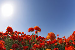 The huge field of flowers Stock Image