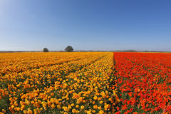 Huge field  flowers Stock Photography