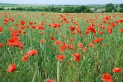 Flowers Poppies. The whole field. A huge field of flowers and red poppies Stock Photos