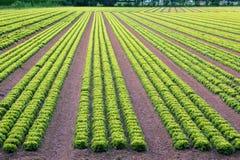 Huge field of green lettuce Stock Image