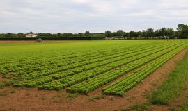 Huge field of lettuce in the plains in summer Royalty Free Stock Image