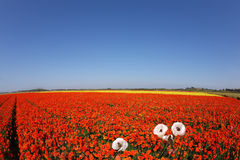 Huge field of red buttercups Royalty Free Stock Image