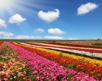 Huge field of red garden buttercups Stock Photos