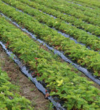 Huge field of red strawberries on the plain royalty free stock photos