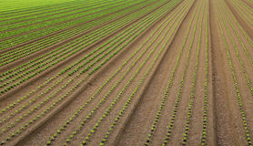 Huge field of salad sprouts grown Stock Image
