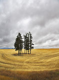 Huge field and some pines. In Montana after a harvest royalty free stock image