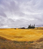Huge field and some pines after a harvest Stock Images