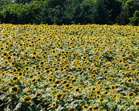 A huge field of sunflowers in the country Royalty Free Stock Images