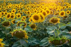 Summer Evening with Vivid Sunflower Field Royalty Free Stock Photo