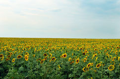 Huge field with sunflowers Royalty Free Stock Image