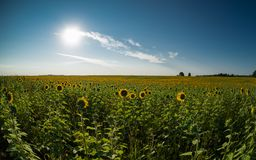 Hunters of the sun. A huge field with sunflowers under the serene blue sky with a bright, warm summer sun. Thin clouds fly the persecuted, the weak breeze Stock Photos