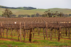 Huge field of vines for winemaking Stock Photography