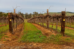 Huge field of vines for winemaking Royalty Free Stock Images