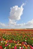 Huge fields of garden ranunculus Royalty Free Stock Photos