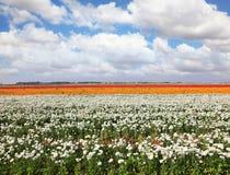 Huge fields of peony garden ranunculus stock image