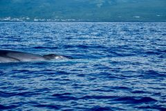 A huge fin whale at Pico island. A fin whale Balaenoptera physalus surfacing close to the shore of Pico Island in the Azores stock photo