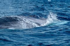 A huge fin whale surfacing stock images