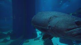 Huge fish swim in the Aquarium in Dubai Mall stock footage video. Dubai, UAE - April 09, 2018: Huge fish swim in the Aquarium in Dubai Mall stock footage video stock footage