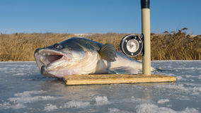 The huge fish and tackle on ice. Big zander. Royalty Free Stock Photos