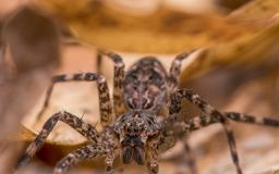 Huge fishing spider in fallen leaves in Governor Knowles State Forest stock images