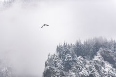 Huge flier floating around snowy rock. Gray bird flying over the high mountain wall covering with dense pine treea in winter in the United States Royalty Free Stock Photography