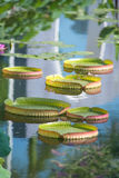 Huge floating lotus,Giant Amazon water lily Royalty Free Stock Image