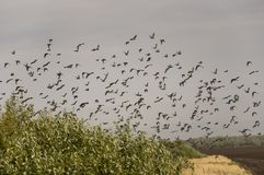 Huge flock of birds are flying in the blue sky over black and yellow field with green trees.  Stock Image