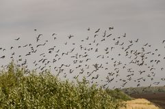 Huge flock of birds are flying in the blue sky over black and yellow field with green trees.  Royalty Free Stock Photos