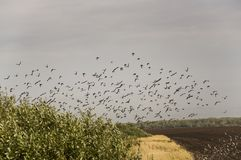 Huge flock of birds are flying in the blue sky over black and yellow field with green trees.  Royalty Free Stock Photo