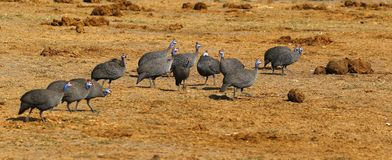 Huge Flock of Blue Helmeted Guinea Fowl. Guinea fowl make excellent guard dogs, as they are very noisy stock images