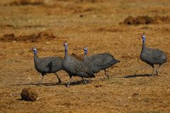 Huge Flock of Blue Helmeted Guinea Fowl. Guinea fowl make excellent guard dogs, as they are very noisy stock photos