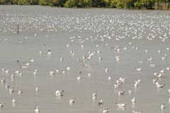 Huge flock of Brown headed Gull, Seagull birds floating on water Royalty Free Stock Photo