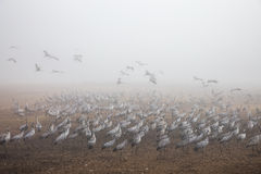 Huge flock of cranes Stock Photos